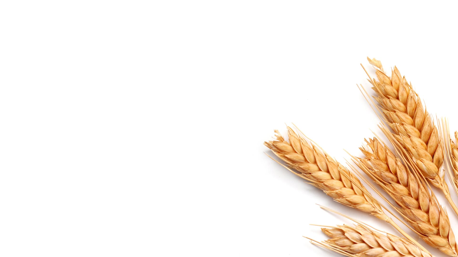 spring cereal seeds barley oats spring wheat mixed grains
