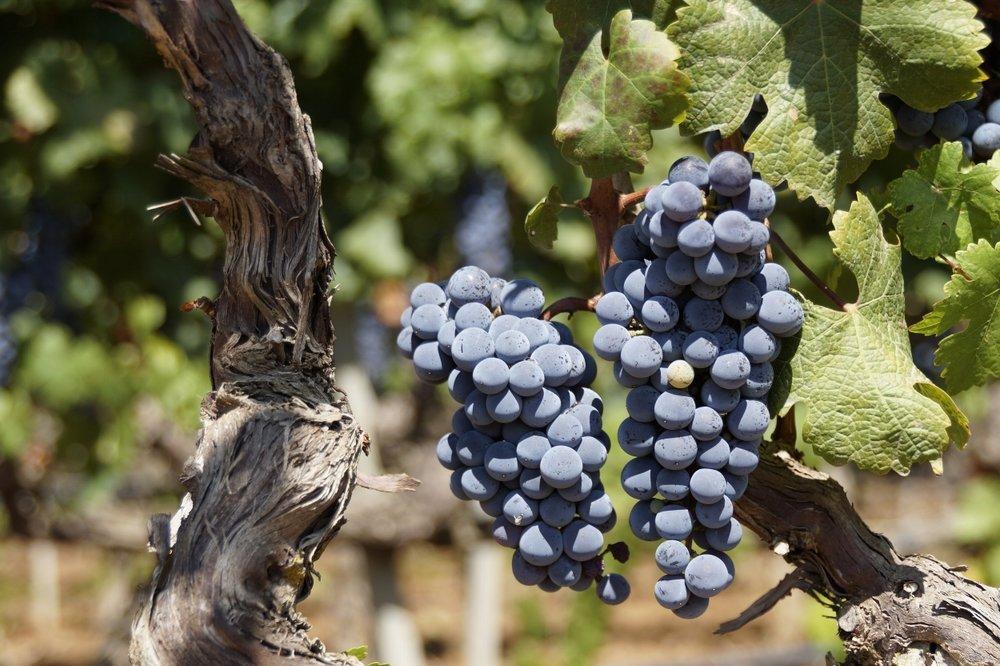 grape-2783147.jpg