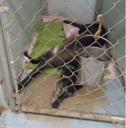 greyhound lying down in small kennel.jpg