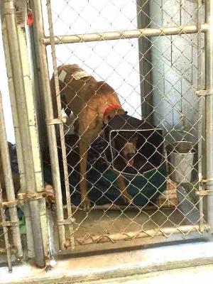 Injured dog at Greyhound Friends.jpg