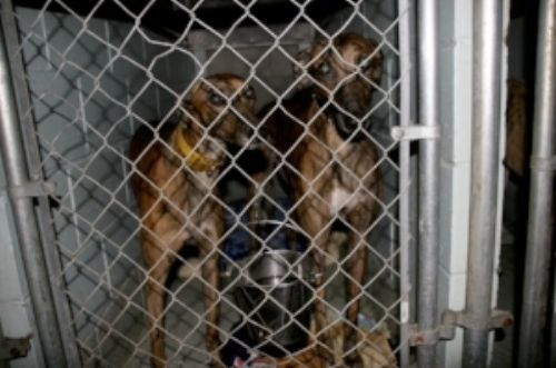 Greyhound Friends dogs housed together.jpg