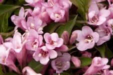 Pink Poppet Weigela -
