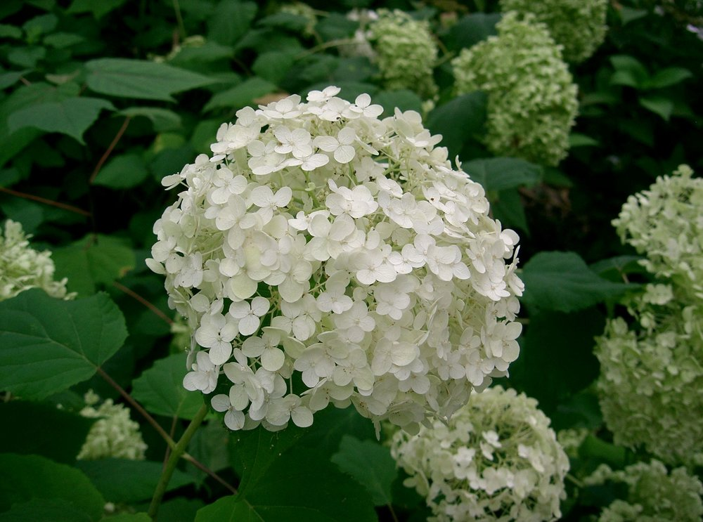 Hydrangea_arborescens_'annabelle'1.jpg
