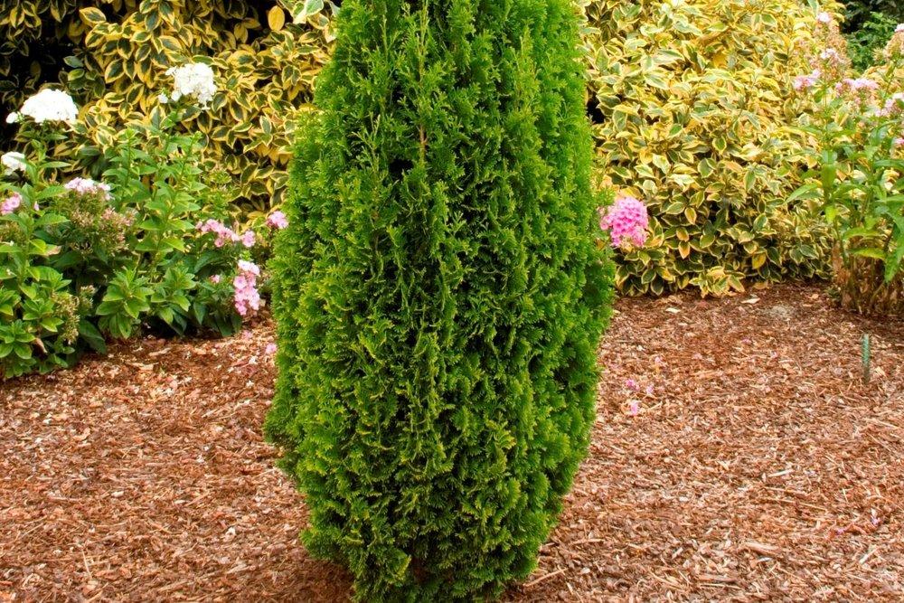 Degroot's Spire Arborvitae -