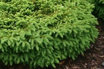 Nest Spruce -