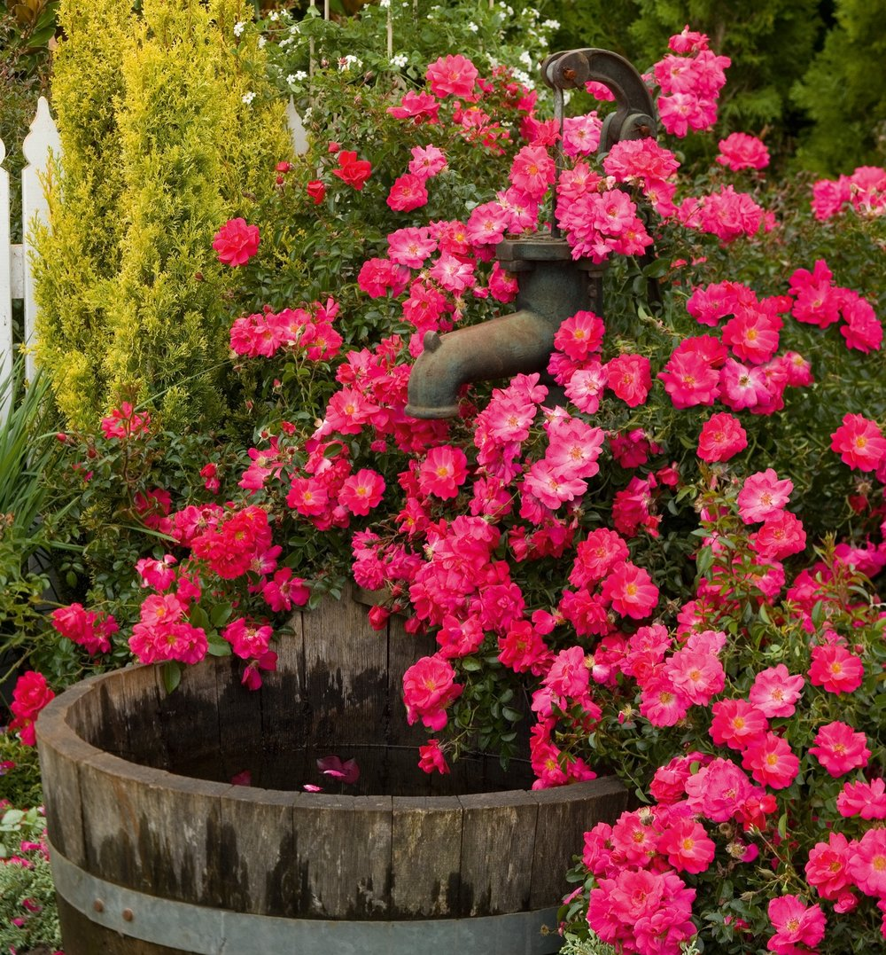 Choice landscaping garden center flower carpet pink supreme a non stop summer show of vibrant hot pink blooms with no deadheading or fancy pruning winner of worlds top honor for disease resistant roses more mightylinksfo