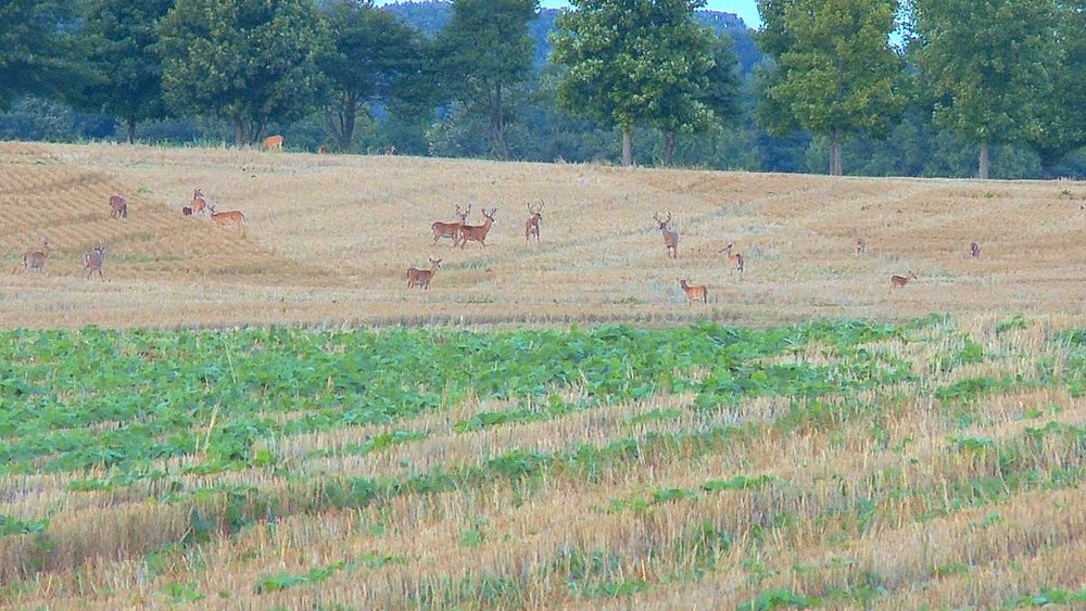 Bucks-and-does-in-large-field-in-Midwest.jpg