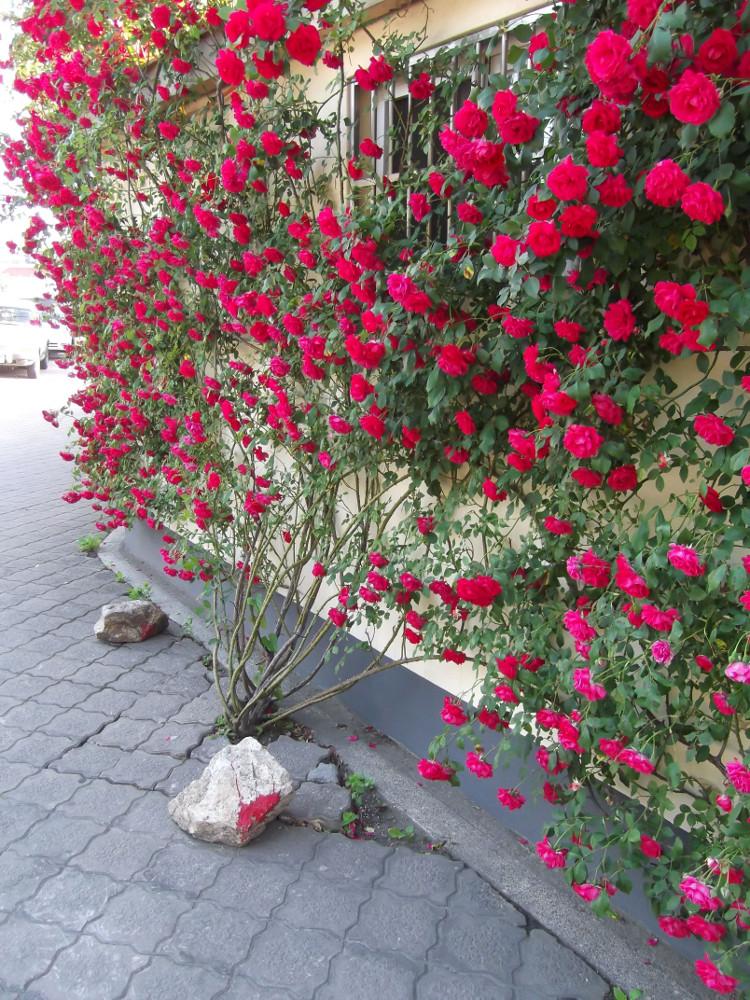 34-Gyeongju-Roses.jpg