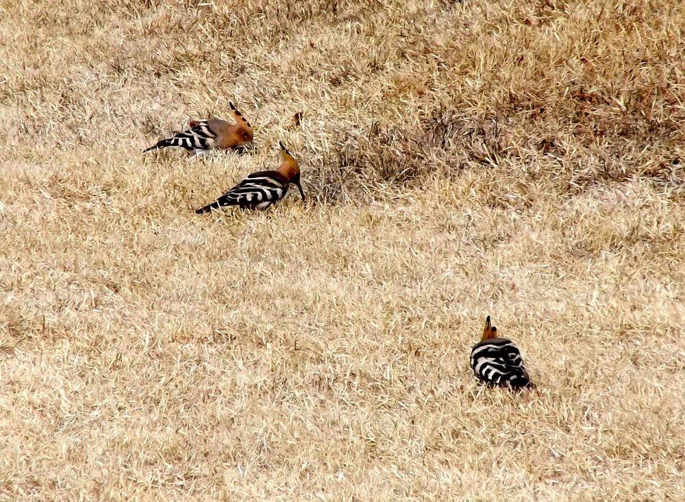 Zebra-birds.jpg