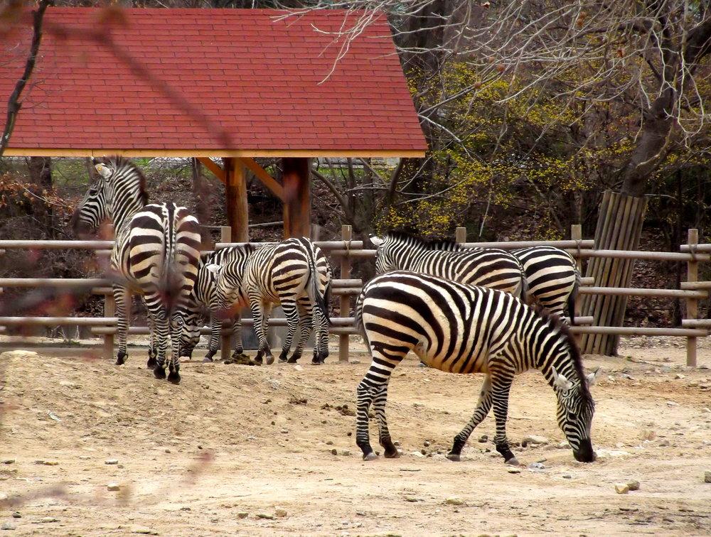 More-Zebras.jpg