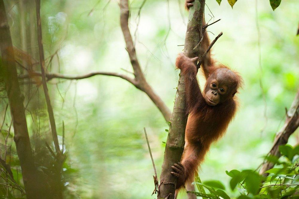 Bornean orangutan. Photo by Andrew Walmsey & Borneo Nature Foundation_preview.jpeg