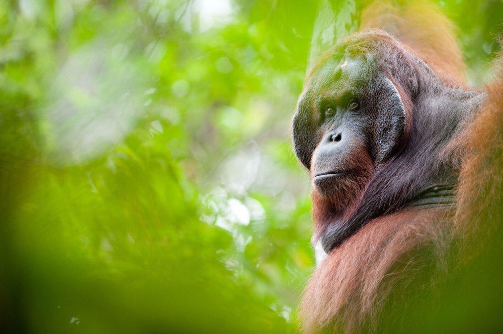 Bornean orangutan 2. Photo by Andrew Walmsey & Borneo Nature Foundation_preview.jpeg