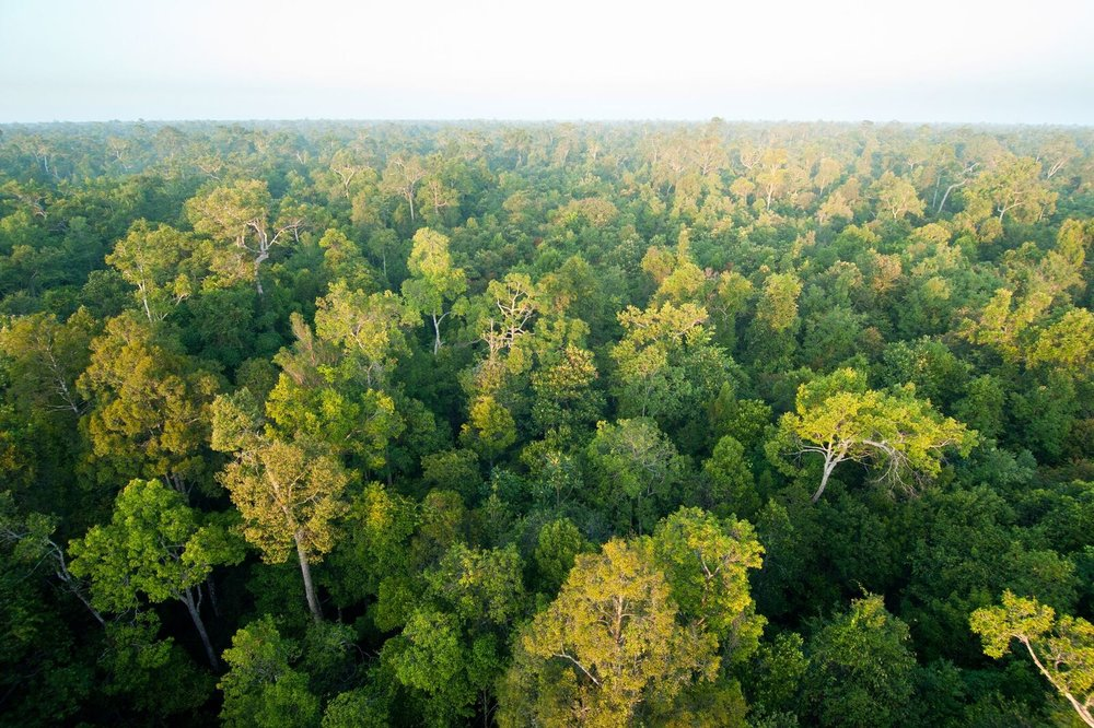 Sabangau Forest.  Photo by Andrew Walmsey & Borneo Nature Foundation_preview.jpeg