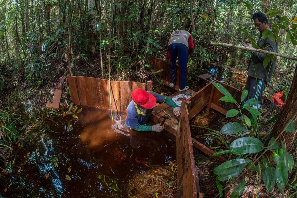 Dam building in Sabangau. Photo by Duncan Murrell & Borneo Nature Foundation_preview.jpeg