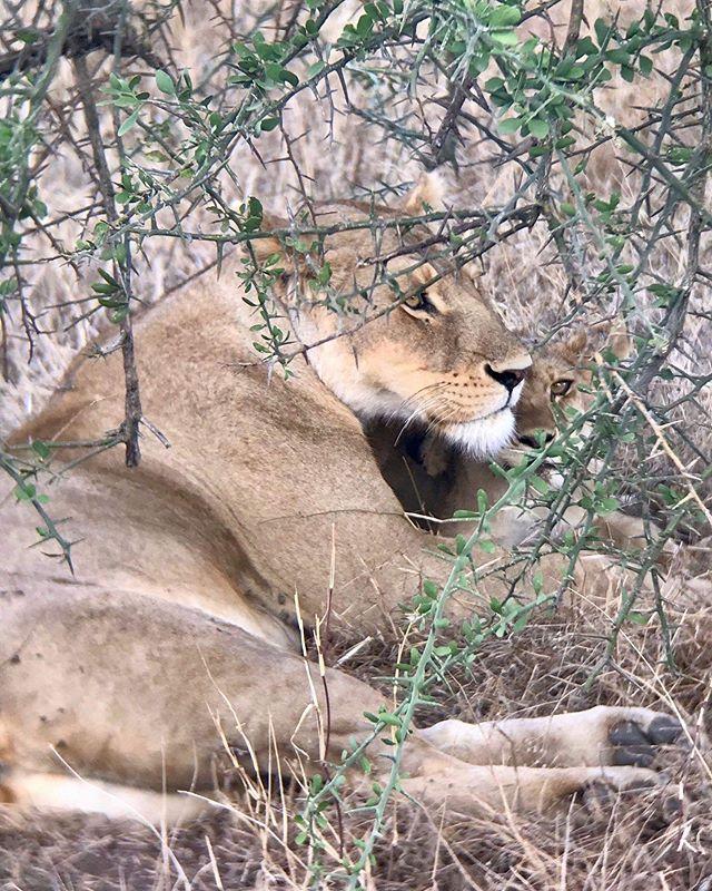 | The lioness cuddling her cubs 🦁 . . . . . ... #safari #tanzania #lifeofadventure #travellershouts #eastafrica #exploreafrica #africaamazing #goexplore #catsofig #kitteh #kittycatlove #bigcats #kittensofinstagram #serengeti #africarising #iloveafrica #tanzaniatourism #lion