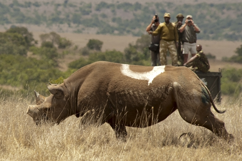 Checking on the rhino after darting.jpg