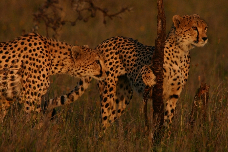 Cheetah_0.jpg