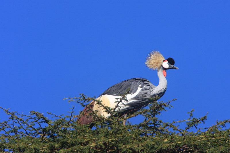 Crested-Crane.jpg