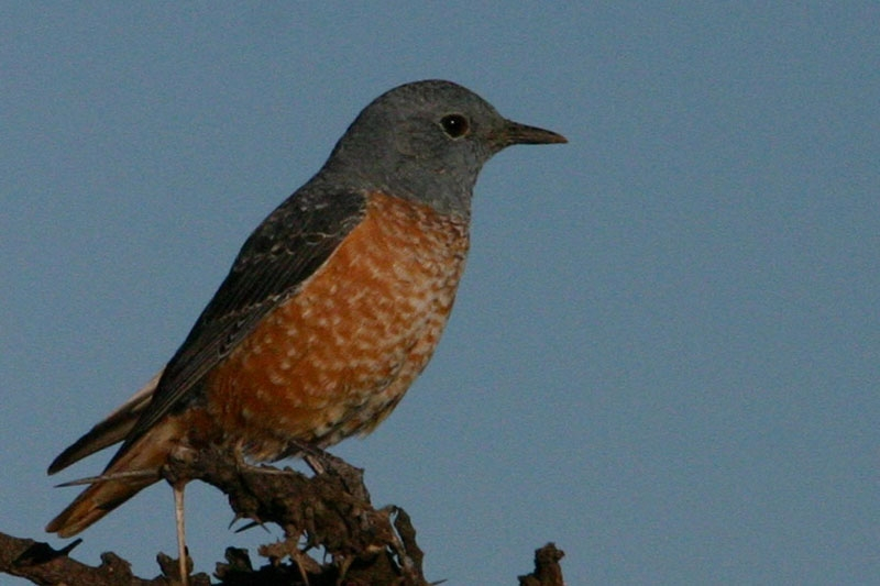 Little-Rock-Thrush.jpg