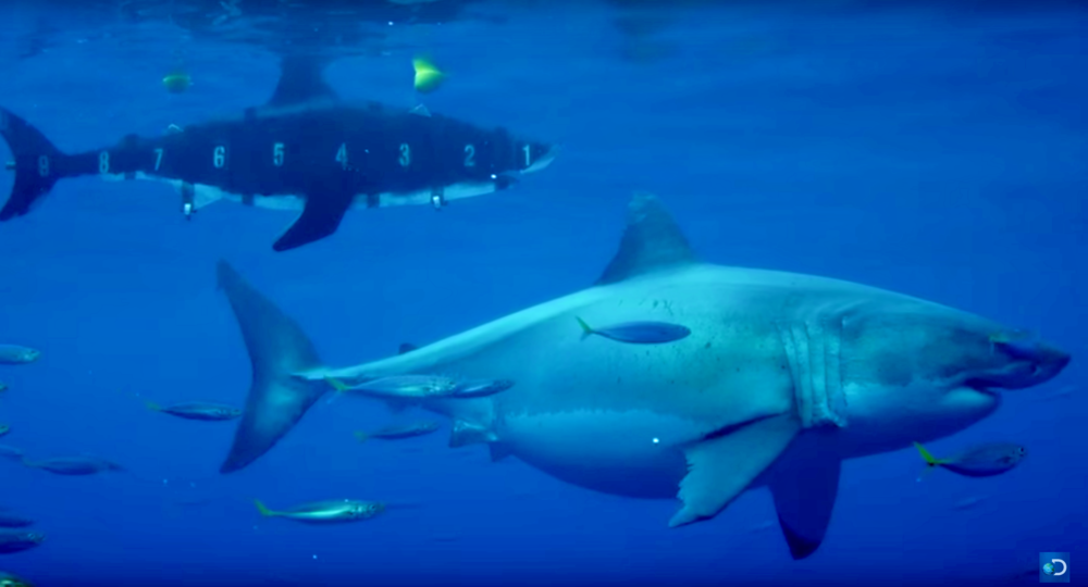 3. The Worlds largest shark to ever be filmed - At the staggering size of 20ft long which is the equivalent to the size of a large shipping container, the camera crew could not believe their eyes when they caught this pregnant great white shark on camera.