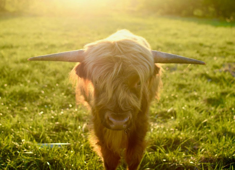 Grass-Fed Highland Beef - Everything you need to know.