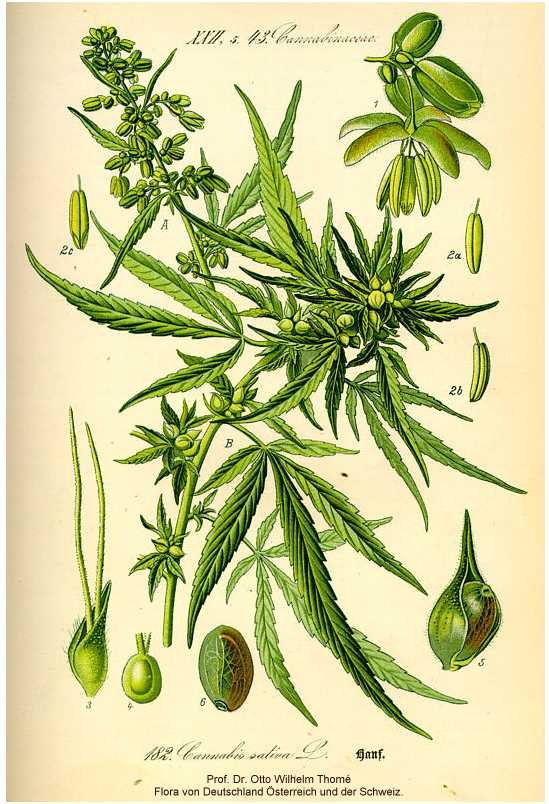 cannabis sativa.jpg