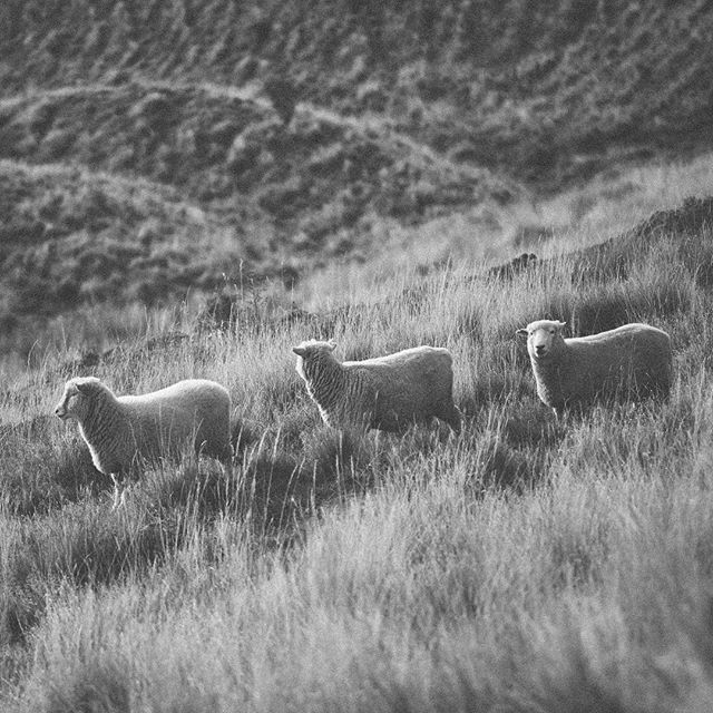 So many sheep in New Zealand and that's that! 😉 - #sheep #bwphotography #landscapephotography #royspeak #animallovers