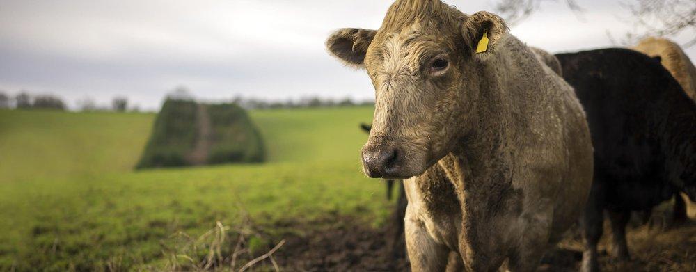 Cattle Handling