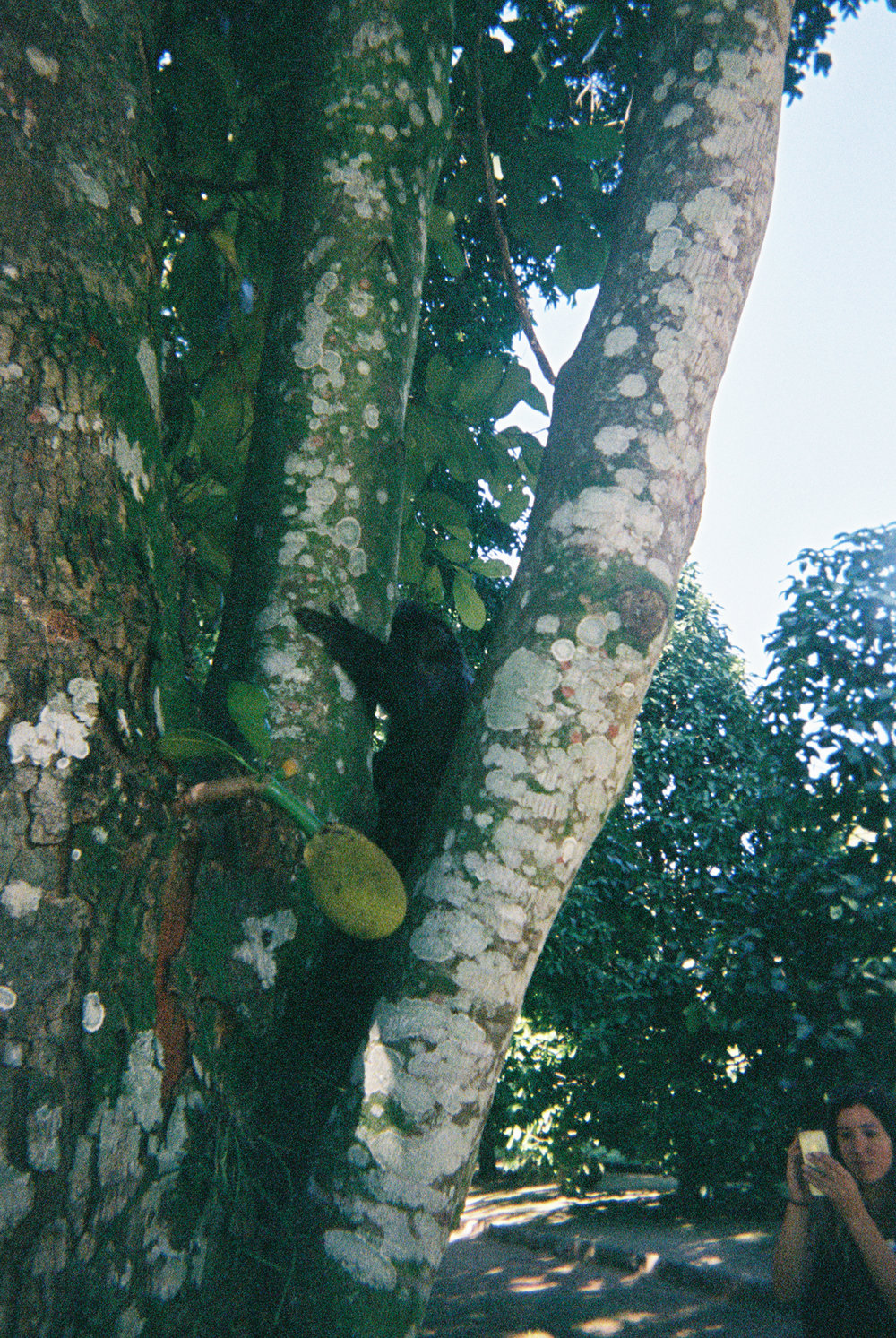Jackfruit tree visitor