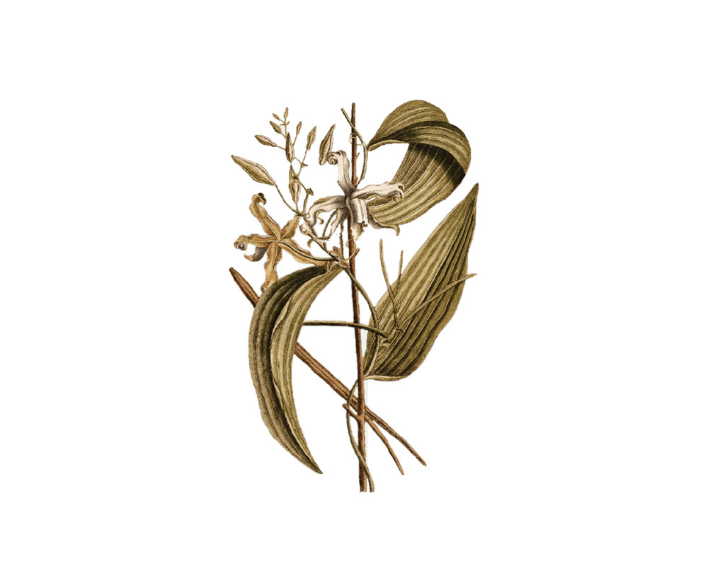 Vanilla Planifolia  : Vanilla is a member of the orchid species native to Central America and the Caribbean where it has been cultivated since before the 15th Century.