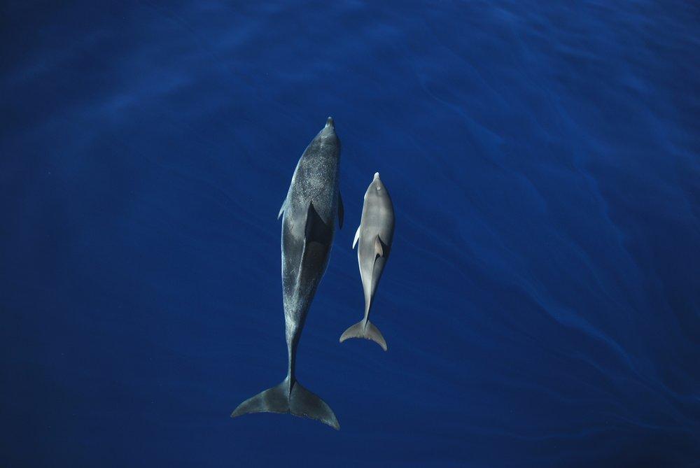 Atlantic Spotted Dolphin © Miranda van der Linde