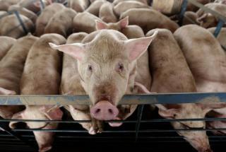 Pigs in NC.jpg