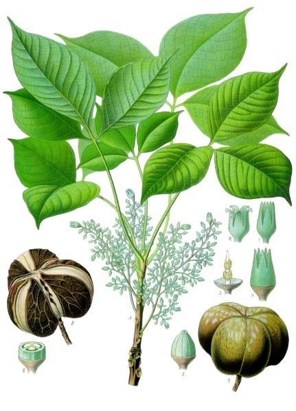 By Franz Eugen Köhler, Köhler's  Medizinal-Pflanzen  - List of Koehler Images, (Public Domain)