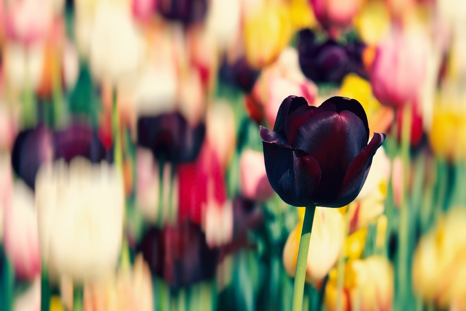 tulip-3407177_960_720.jpg