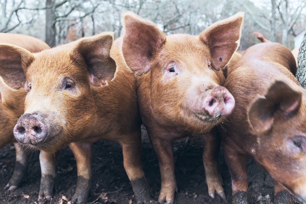 Piggies - aren't they just the best?!?