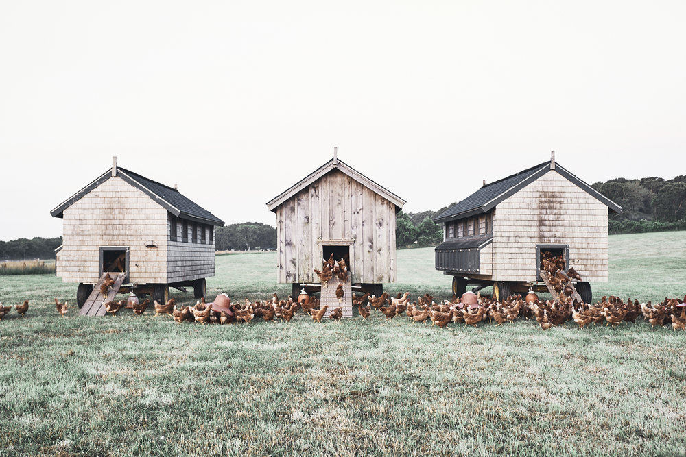 Laying Hens - pastured all year