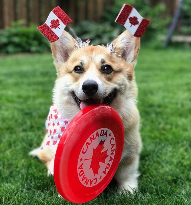 ♥️ 🇨🇦 HAPPY CANADA DAY 🇨🇦 ♥️ Usually our favourite colour is green, but today we're repping that red and white! Super proud to live in this beautiful country! . . Photo cred 📷: @mrbean.thecorgi 🐶 . . . . . . . . . #artificialgrass #yvr #perfectturf #artificiallawn #artificialgrass #perfectlawn #syntheticgrass #greengrassvancouver #beautifullawnvancouver #petturfvancouver #artificialgrassvancouver #artificialturfvancouver #greengrass #beutifullawns #greatlawnyvr #lawnenvy  #canadaday #canadian #lovecanada #redandwhite