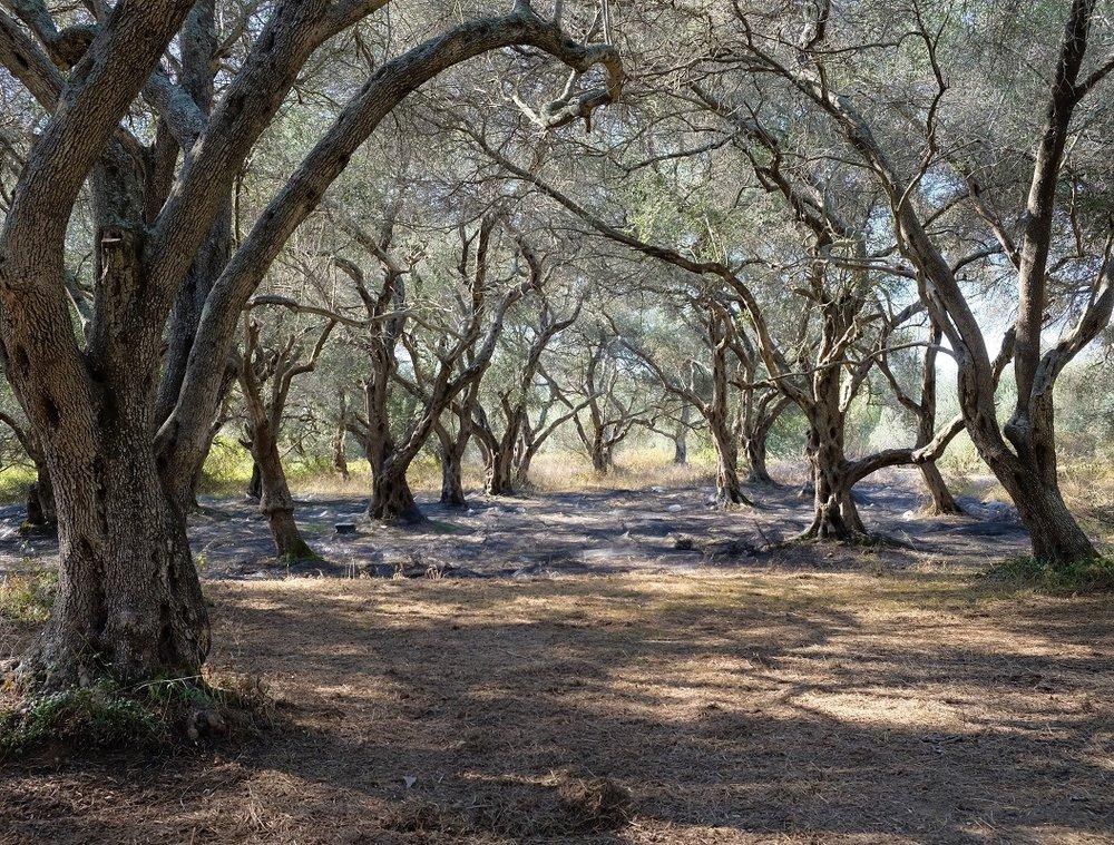 Olivenbäume bei Chlomos.JPG