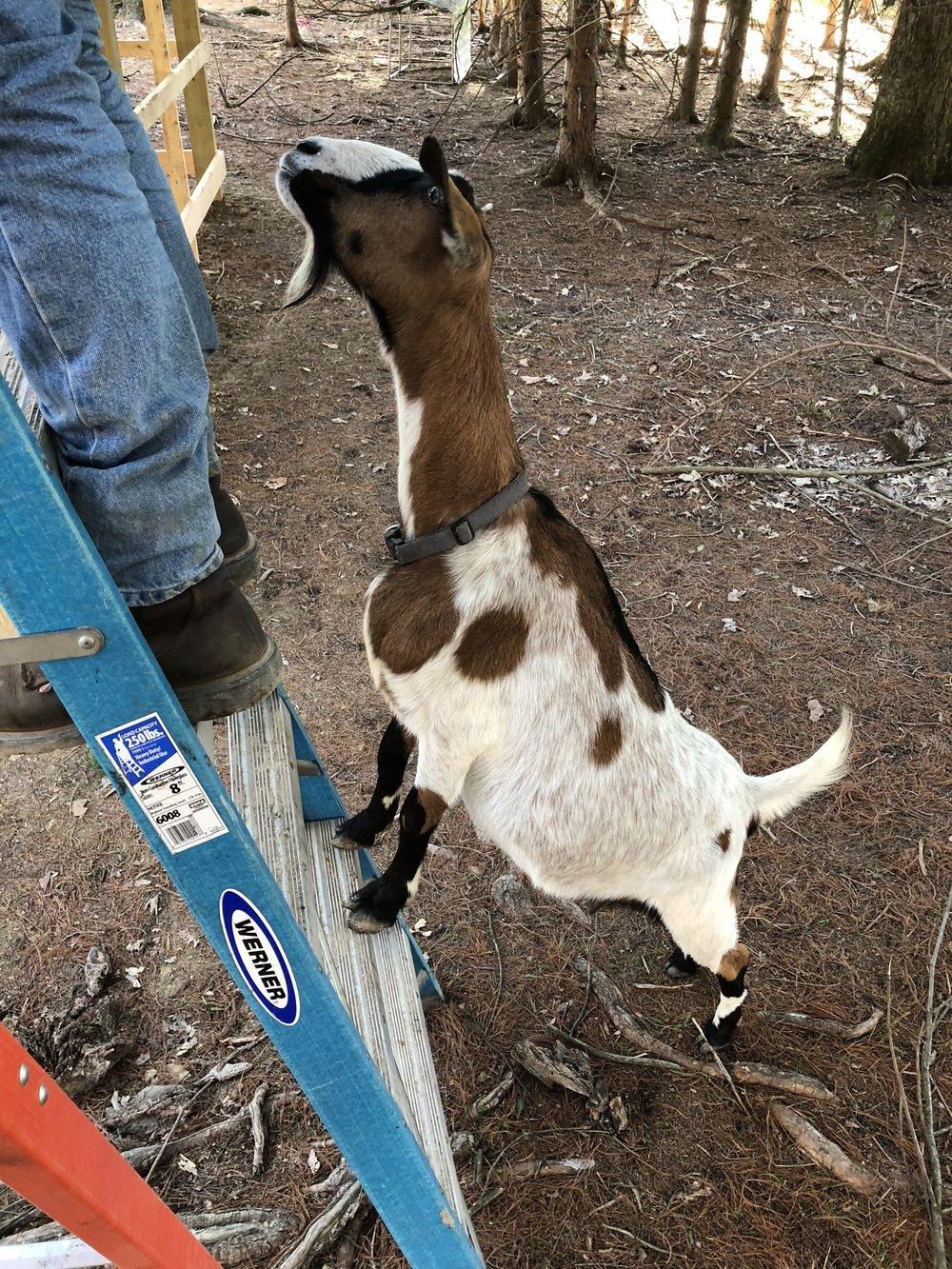 mini Nubian goat barn