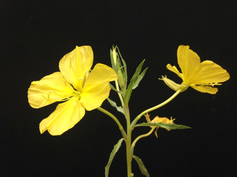 Oenothera  subsection  Munzia  sp.