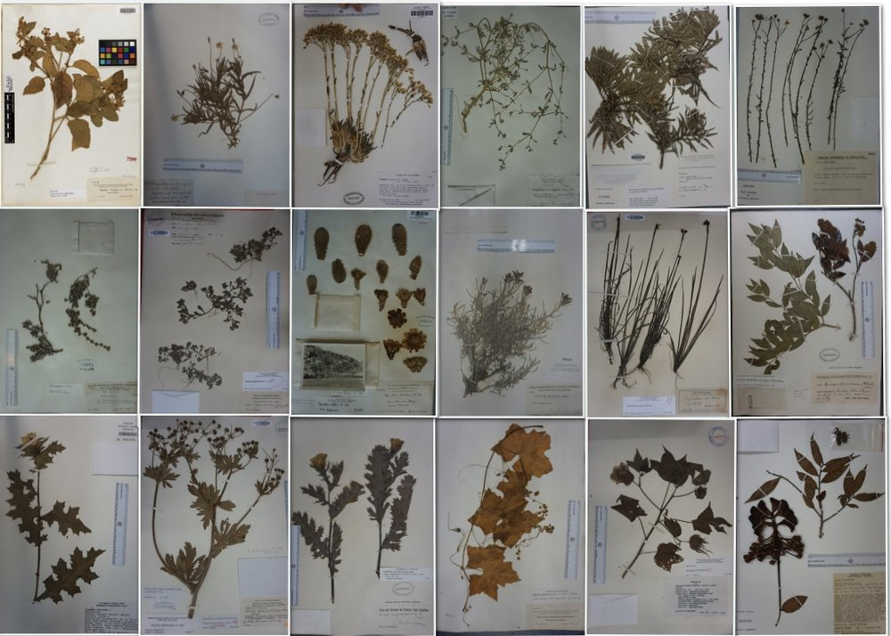 Herbaria specimens of island endemic species and their closest extant mainland relative.