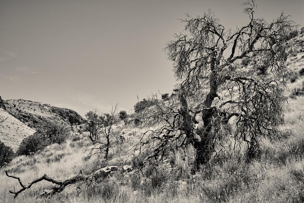 tree in Chiricahua