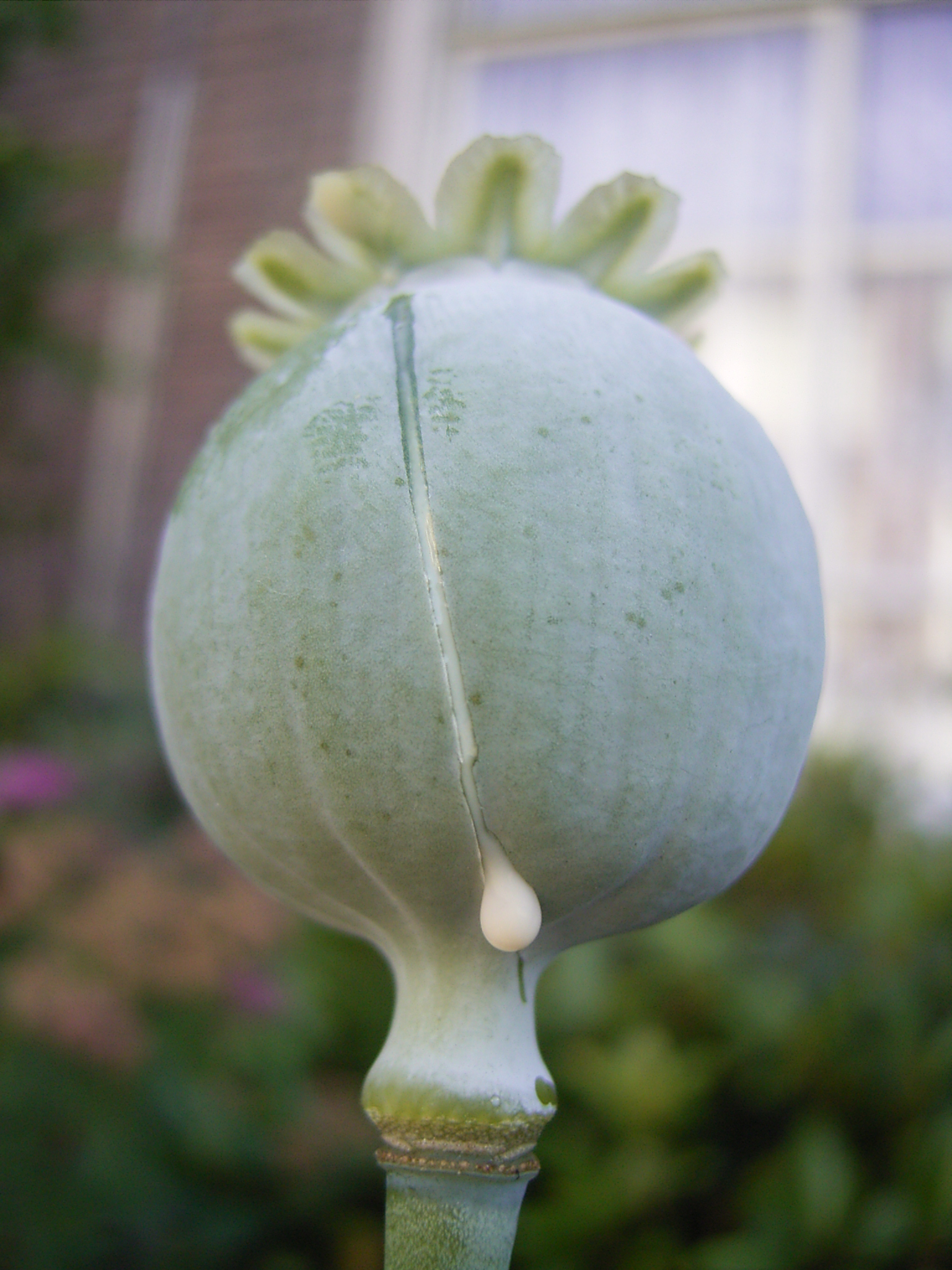 Dripping Opium Poppy