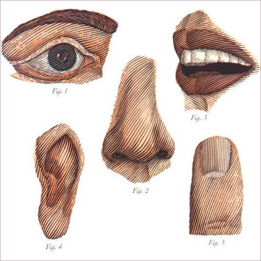 Eyes Mouth Nose Ear finger sketch the senses