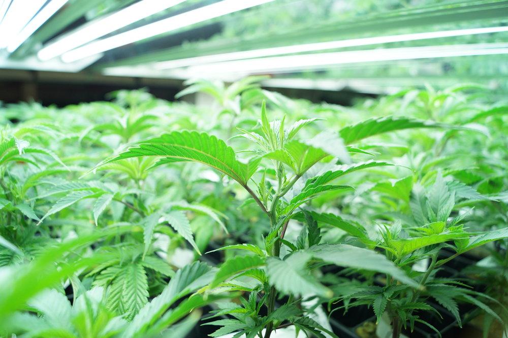 cannabis plants under fluorescent lights