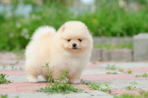 pomeranian-puppy-1.jpeg