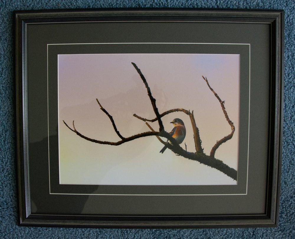 Male Bluebird Photo by Clay Thurston