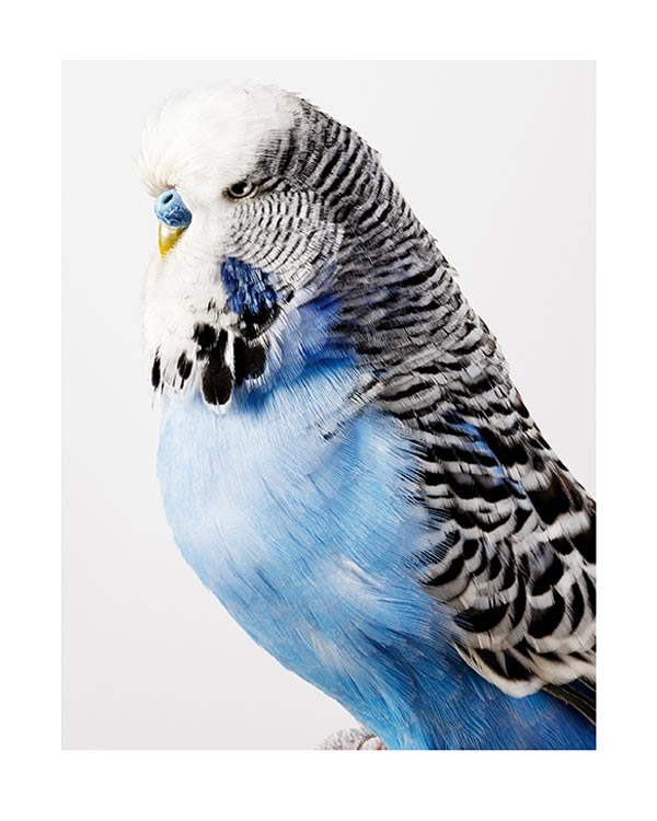 Portrait of a Budgerigar