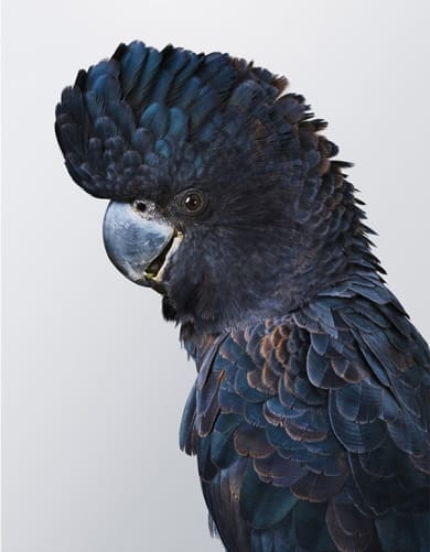 'Fluff' No.1, Forest Red-tailed Black Cockatoo, by Leila Jeffreys.