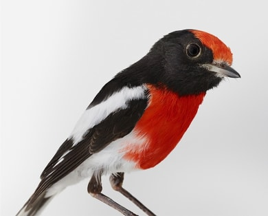 'Redmond', Red-capped Robin by Leila Jeffreys.